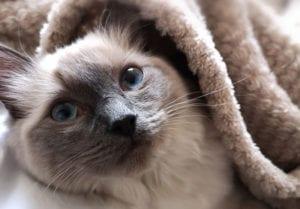 comment laver un chat