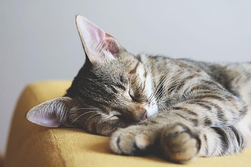 phéromone chat calme