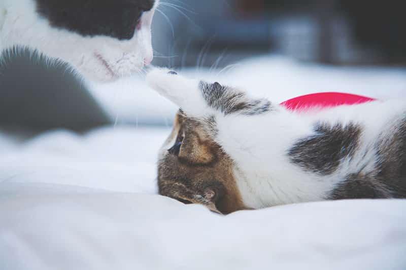 gestation du chat - chatte gestante