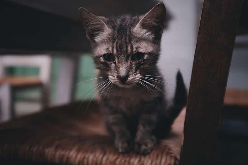 coryza chaton
