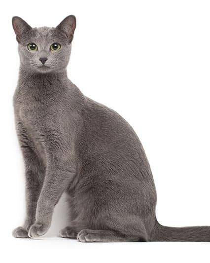 Race de chat Bleu Russe
