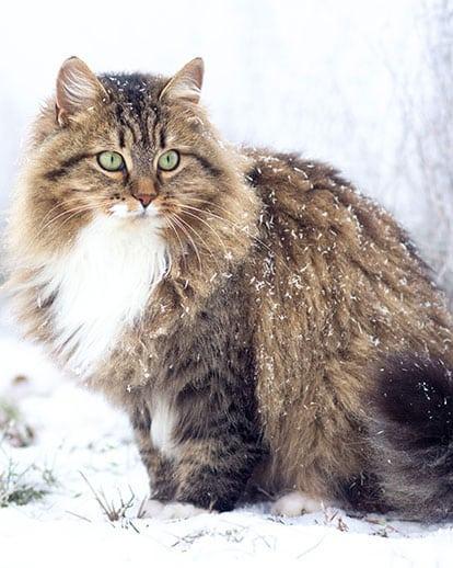 Race de chat Sibérien