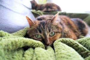 diarrhée du chat