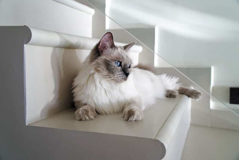 chat de race Ragdoll