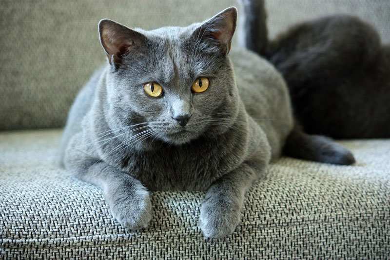 Chat de race chartreux
