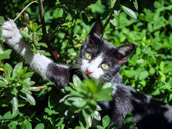 herbe aux chats / cataire