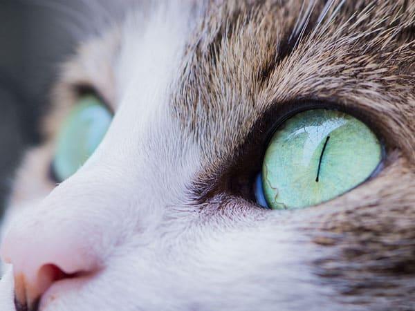 soin des yeux pour chat