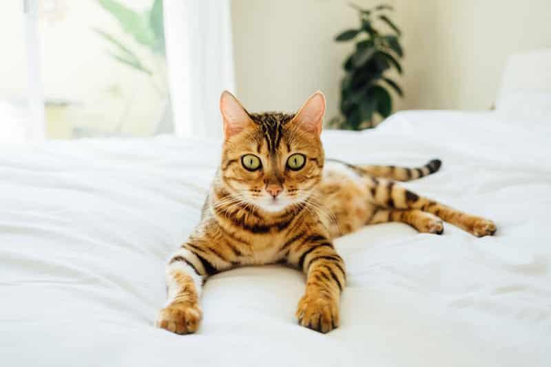 Bengal Tout Savoir Sur Ce Chat Leopard Plein D Energie