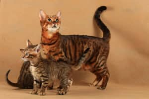 Chat de race Toyger