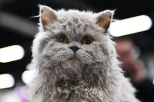 Selkirk Rex race de chat mouton