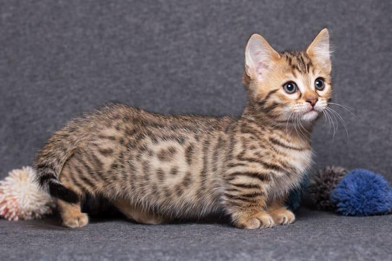 chat de race munchkin