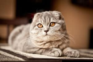 race de chat Scottish fold