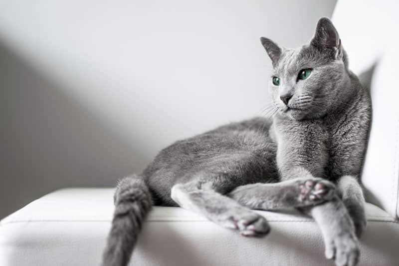 Le Bleu Russe : un chat calme et élégant à la robe bleue (grise)