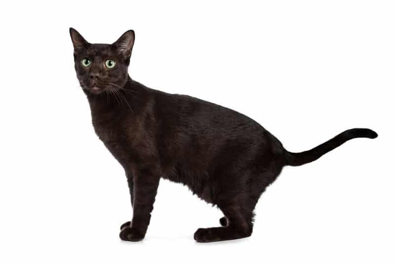 Havana Brown : un chat de race assez rare et très peu connu