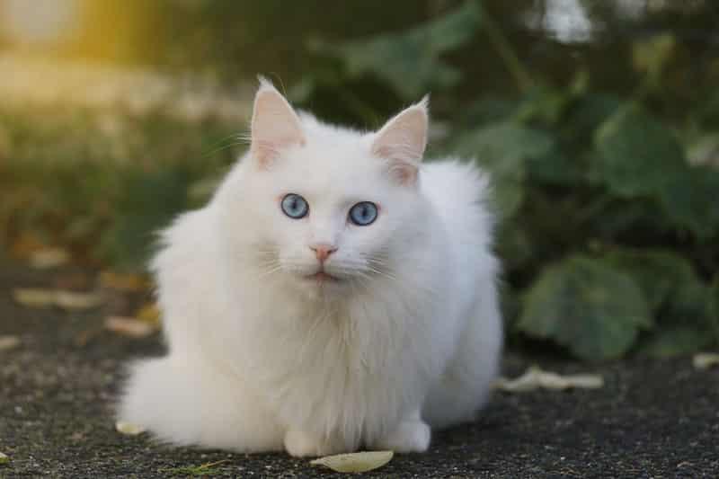 Angora Turc : une race de chat ancienne, originaire de Turquie