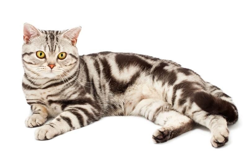 American Shorthair : une race de chat très répandue aux Etats-Unis