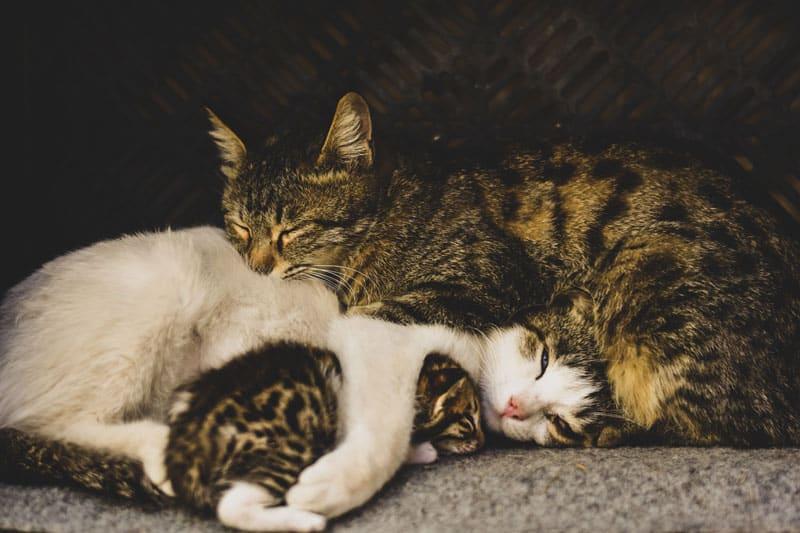 stérilisation et castration du chat