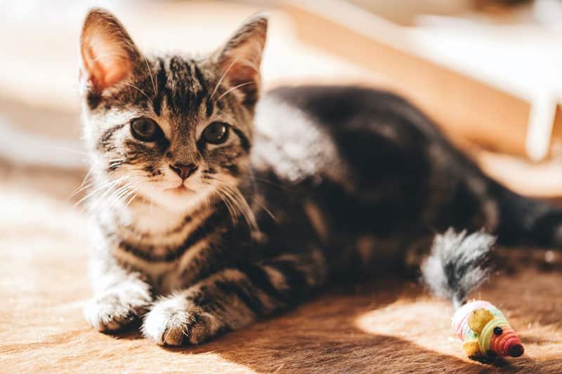 âge castration du chat